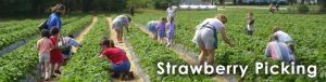Porter Farms and Nursery - Strawberry Picking (Willow Springs)